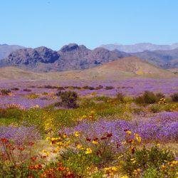 Durante el fenómeno del desierto florido chileno, que puede apreciarse con especial intensidad en la zona costera de la región de Atacama, florecen cerca de 200 especies, muchas de ellas endémicas.