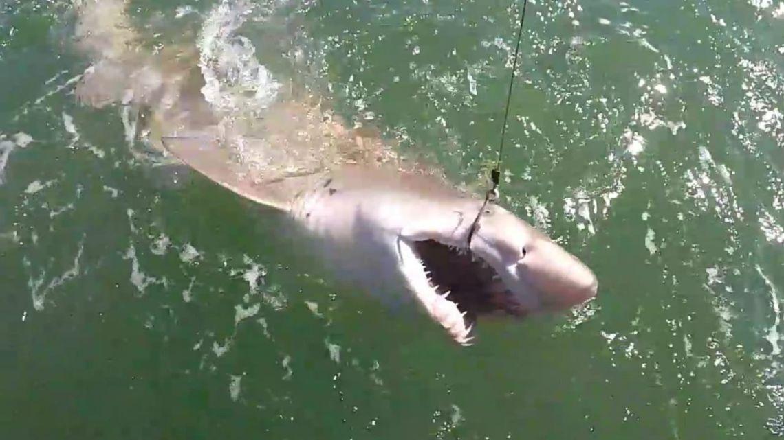 Pescar tiburones, y devolverlos con vida