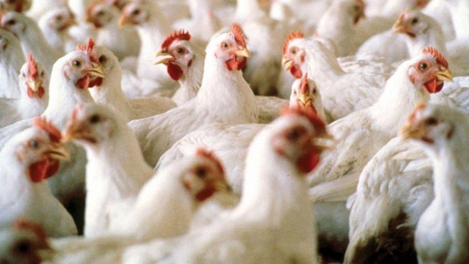 CARNE AVIAR. Hay buenas expectativas respecto a la industria avícola para que sea el principal cliente.