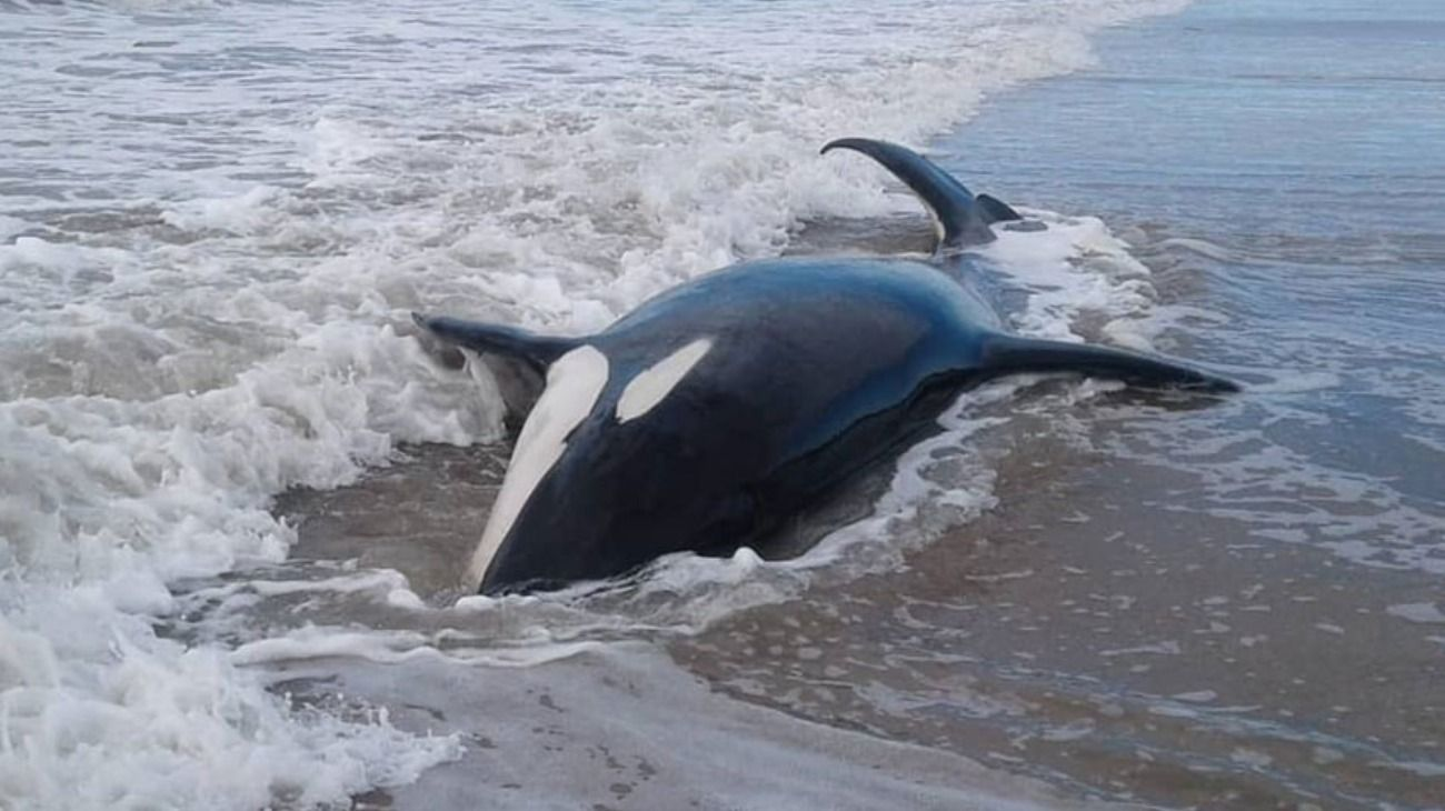 Las orcas fueron divisadas durante la mañana de este lunes por los vecinos de la playa.
