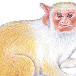 Descubren una nueva especie de mono tití en el Amazonas.