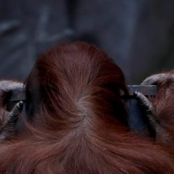 Sandra the orangutan, 33, kept at the former Buenos Aires City zoo (now known as Eco Parque) for a quarter century, will swap her solitary life at the end of September for a new life United States, where after a quarantine period in Kansas she is expected to become the new resident of the Center for Great Apes in Florida.