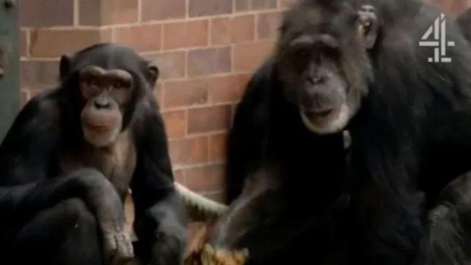 chimpances documental g_20190925