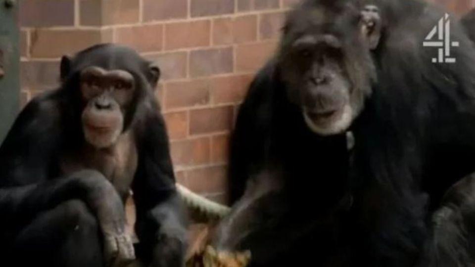 El documental de chimpancés que estaba mirando el joven antes de abusar de su madre.