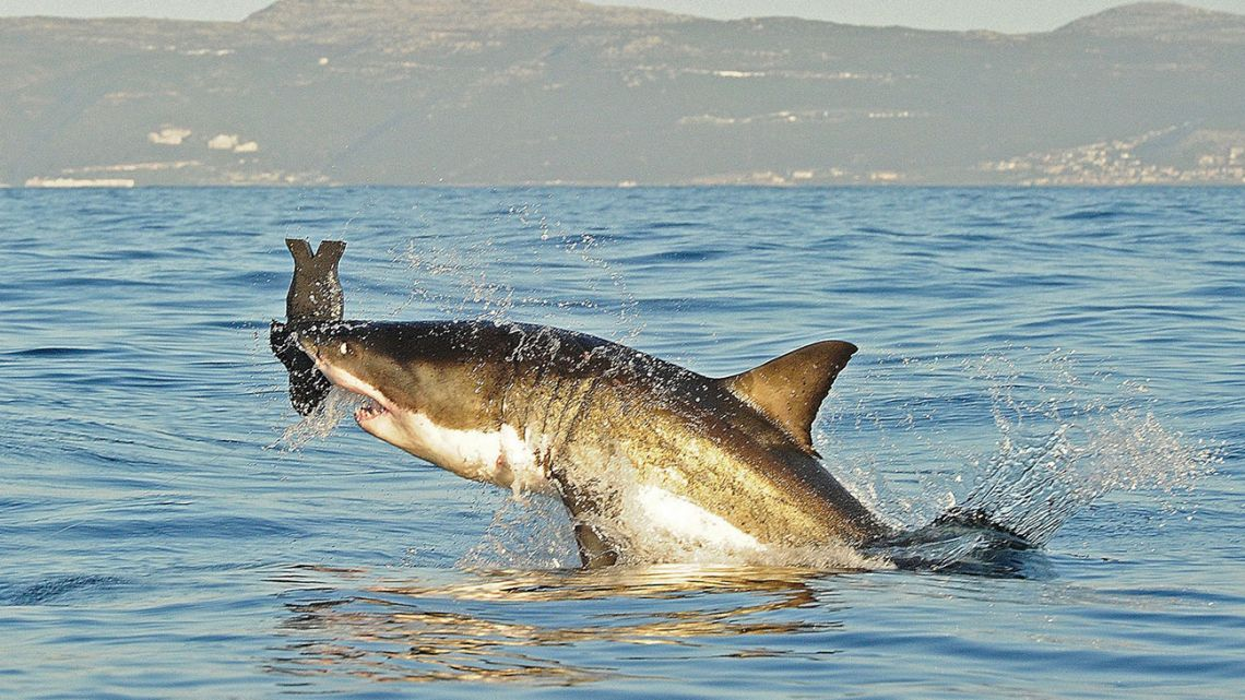 A great white shark, hunting off the coast of Cape Town.