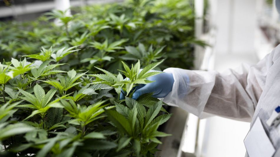 Everybody Wants to Be a Cannabis Farmer in This Corner of Europe