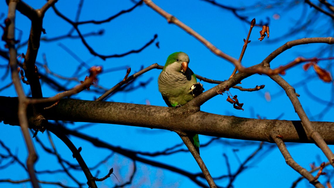 "A monk parakeet (Myiopsitta monachus) also known as the quaker parrot or Argentine parakeet perches on a tree in the Retiro Park in Madrid. The Spanish capital city of Madrid announced on October 7, 2019 a drastic ""reduction"" of the monk parakeets whose expansion ""threatens"" the ecosystem and the local residents' safety according to a statement from the city hall."