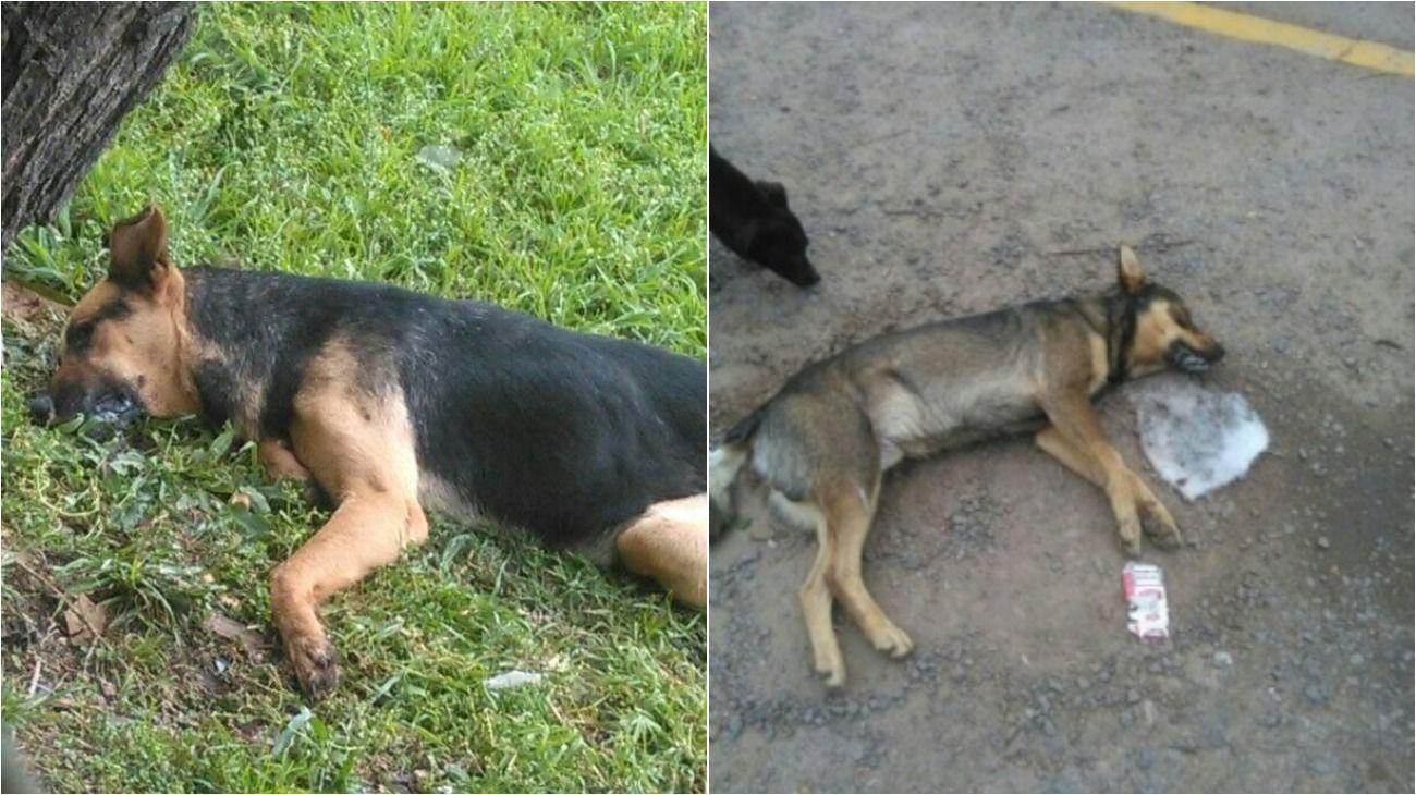 En los últimos 3 meses, más de 40 mascotas fueron envenenadas en Pilar.