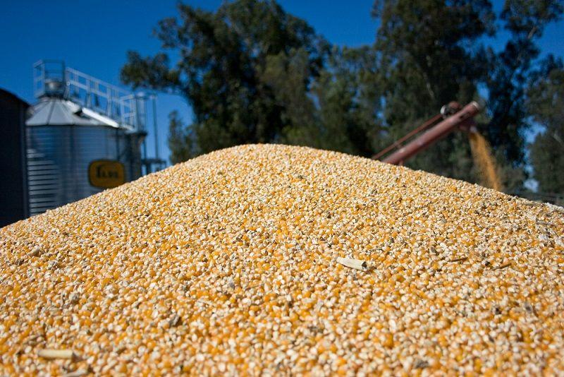 Récord de exportaciones de maíz: 24,9 millones de toneladas entre enero y agosto.