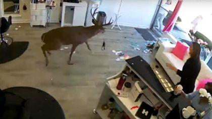 ciervo en peluqueria
