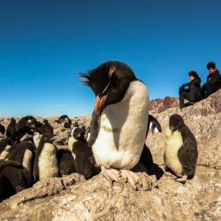 Los primeros pingüinos de penacho amarillo llegaron a Isla Pingüino en Santa Cruz.