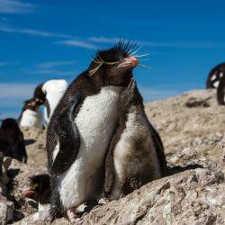 La temporada de avistaje del pingüino de penacho amarillo habitualmente se extiende entre octubre y marzo.