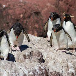 El Parque Interjurisdiccional Marino Isla Pingüino preserva la vida del pingüino de penacho amarillo