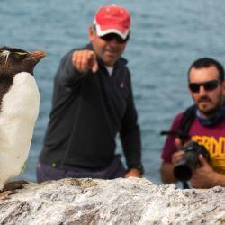 El pingüino de penacho amarillo puede ser contemplado por contingentes de visitantes limitados que no alteren la vida de las especies autóctonas.