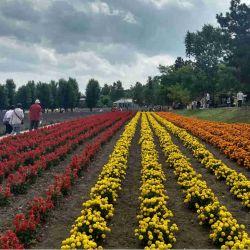 Furano es famosa por sus cultivos de flores que tiñen las laderas de colores variados.