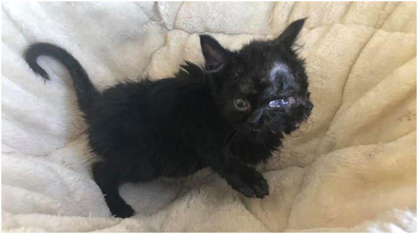 Una gata nació con dos caras, lo abandonaron pero encontró nuevo hogar