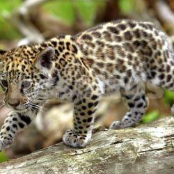 Son 98 los animales que tienen peligro de extinción con distintos grados de riesgo. Uno de los siete más amenazados es el yaguareté.