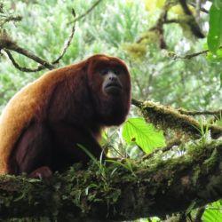 El mono aullador rojo es otra de las especies amenazadas según el reporte de la Sociedad Argentina para el Estudio de los Mamíferos (SAREM) en conjunto con la Secretaría de Ambiente y Desarrollo Sustentable de Nación.