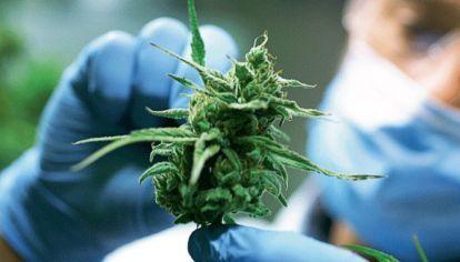 Cannabis medicinal: legislación sorda