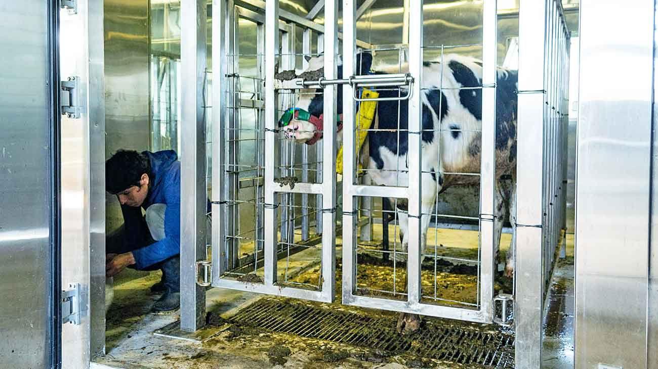 Camaras. En el INTA Balcarce se realizan mediciones del gas metano que liberan las vacas. Se hacen en cámaras de respiración.
