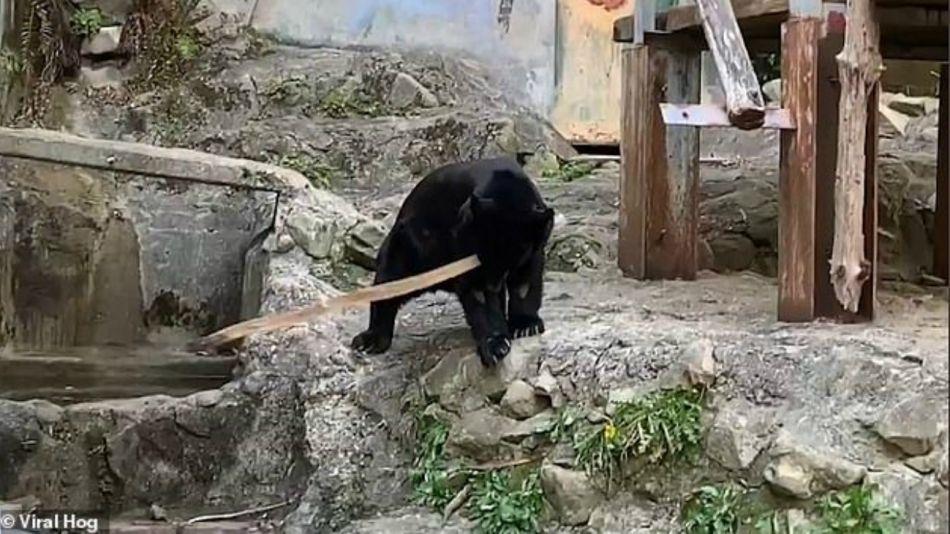Oso Claude, zoológico de Japón