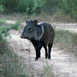 El Impenetrable alberga especies como el yaguareté, el puma, el zorro de monte, comadrejas, distintas variedades de osos y monos.