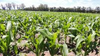 CLIMA. Las lluvias del centro del país permitieron poner en marcha la siembra de maíz y soja.