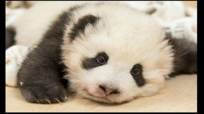 Uno de los osos panda tuvo un ataque de hipo