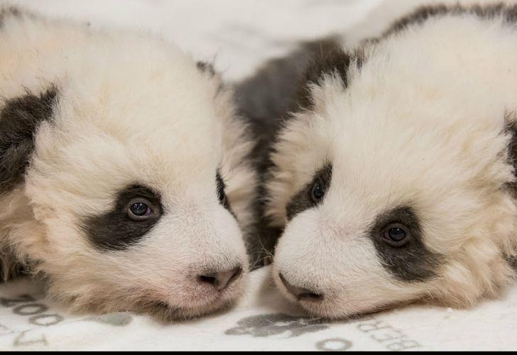 Pandas gemelos, Zoo de Berlín