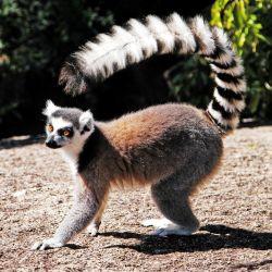 Madagascar es tierra de los famosos lémures (¡hay 72 especies!), la tortuga araña, la boa de Madagascar y el baobab, para mencionar algunas. Tiene montañas, playas de coral, bosques, lagos, cascadas y 19 parques nacionales.