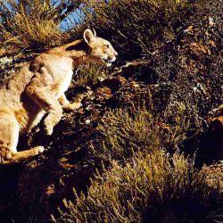 El puma es uno de los animales más buscados por los visitantes.
