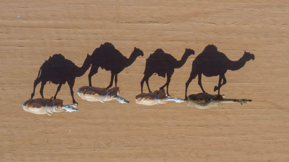 En Australia buscan disminuir la cantidad de camellos por la escasez de agua.