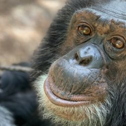 This November 2019 image, courtesy of the Center for Great Apes (CGA) in Wauchula, Florida, shows 37-year-old Bubbles, who once was the favourite pet chimpanzee for the world-famous pop singer Michael Jackson.