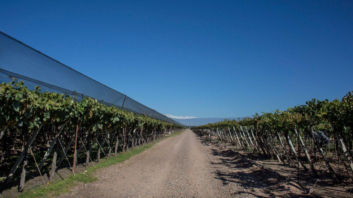 The Bodega Santa Julia Finca Maipu vineyard in Mendoza.