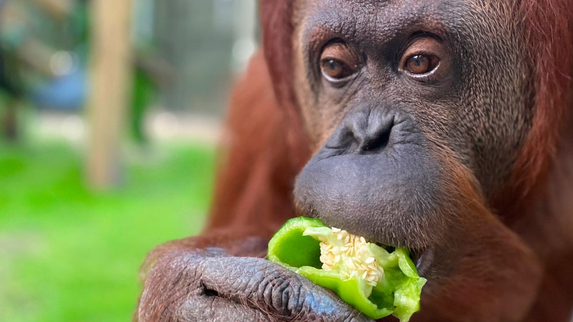 This November 6, 2019 handout photo courtesy of the Center for Great Apes, shows Sandra the Orangutan at her new zoo home in Wauchula, Florida.