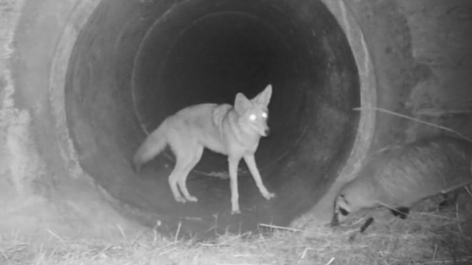 coyote tejon 06022020