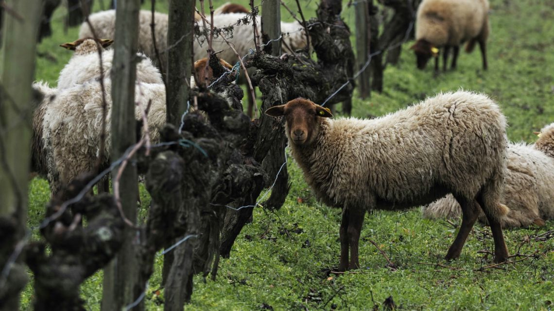 A flock of sheep grazes in a vineyard near Cour-Cheverny, central France on January 31, 2020.