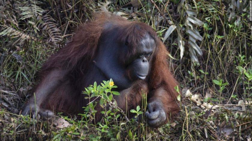 Orangután quiso ayudar a hombre metido en río con serpientes