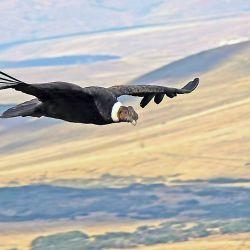 El cóndor, la figurita difícil para el avistaje de aves.