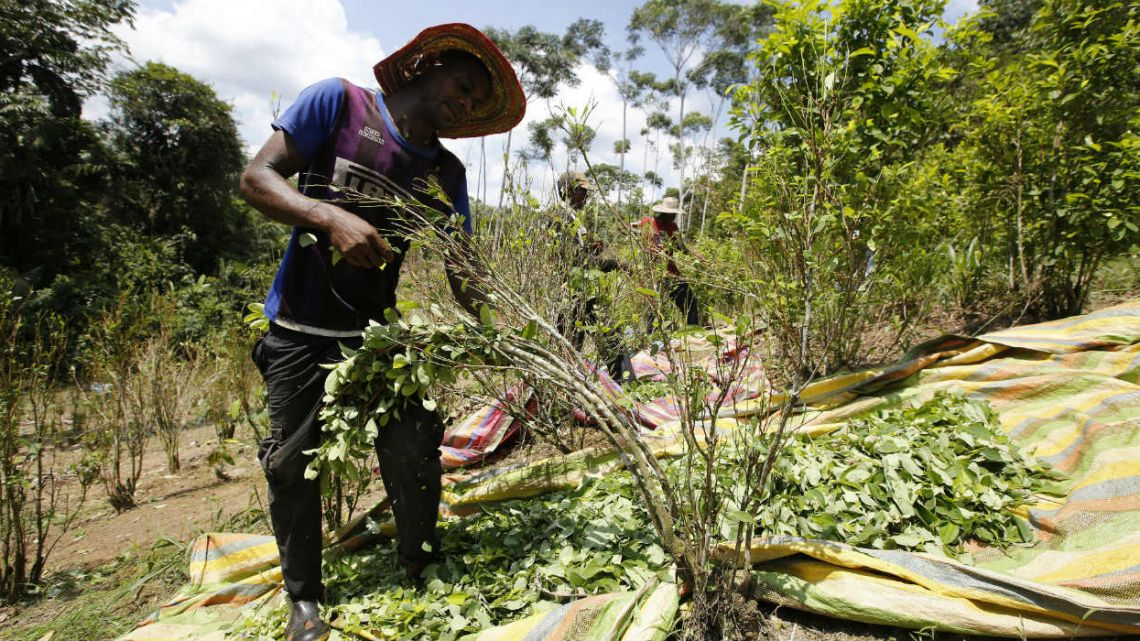 The amount of land in Colombia being used to harvest coca, the plant used to make cocaine, ticked up again last year, continuing record highs despite a renewed campaign to manually eradicate the plant.