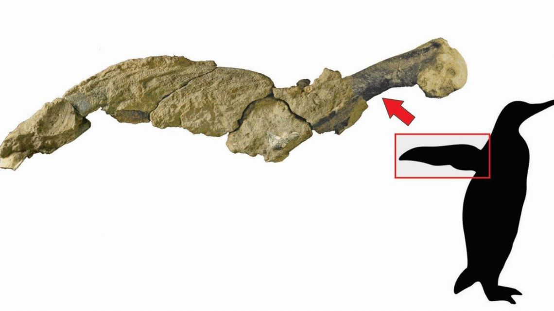 This handout picture released by the Argentine Antarctic Institute shows a jointed wing of a 43 million-year-old penguin found at the Marambio Island, Antarctica.
