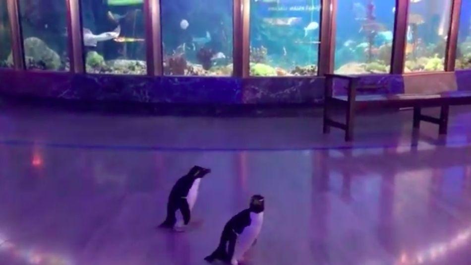 Los pingüinos, llamados  Edward y Annie, salieron de su cristalera y se pusieron a pasear por todo el lugar.