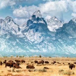 Los bisontes tienen también su casa en Yellowstone.