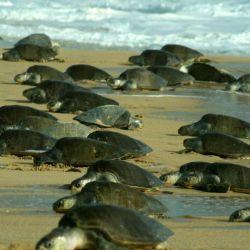 Las playas del estado de Odisha son el hogar de las tortugas Olive Ridley, una rara especie que está en peligro de extinción.