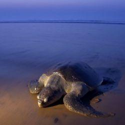 Lo más llamativo fue que las tortugas llegaron de a miles.