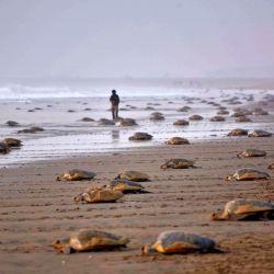 Las tortugas Olive Ridley también han aparecido en gran número en el santuario marino de Gahirmatha.