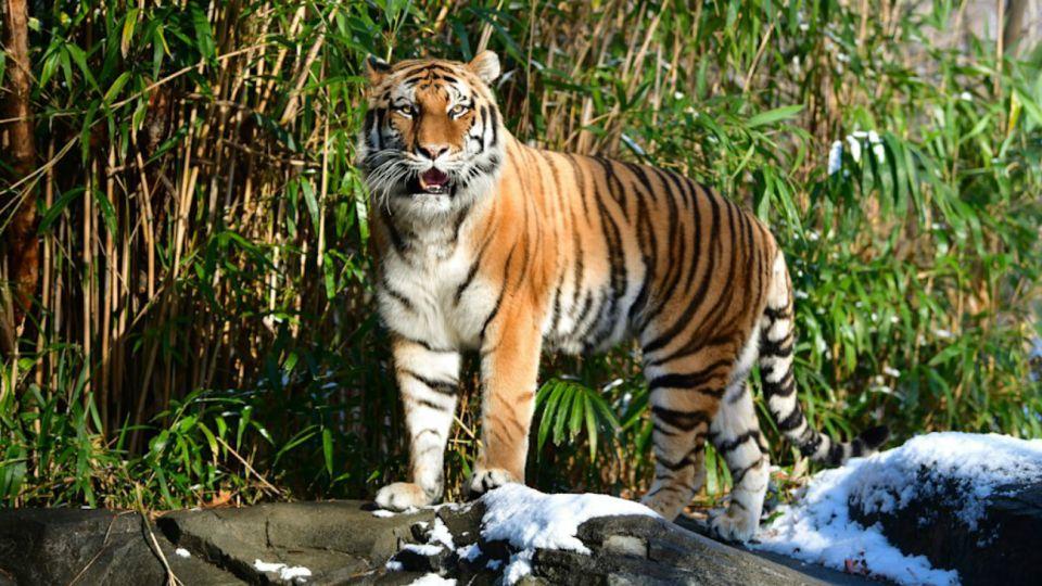 La tigresa malaya enferma se llama Nadia, tiene 4 años y es el primer animal infectado en Estados Unidos, aunque también están en observación también otros tres tigres (la hermana de la primera, Azul, y dos Siberia) y tres leones africanos alojados en la misma estructura.