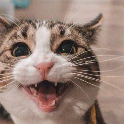 Según un reciente estudio de del Harbin Veterinary Research Institute señala que los gatos podrían infectarse con el coronavirus y contagiar otros gatos.