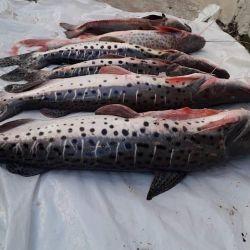 La bajante motivó a furtivos a pescar surubíes con palos y escopetas.