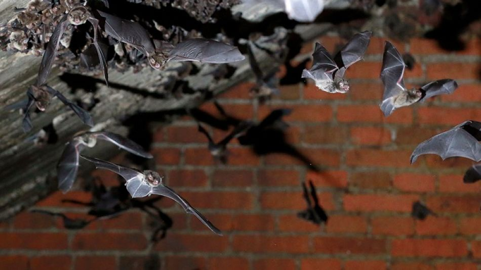 Murciélagos en CABA